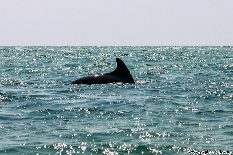 Дельфин на острове Джарылгач