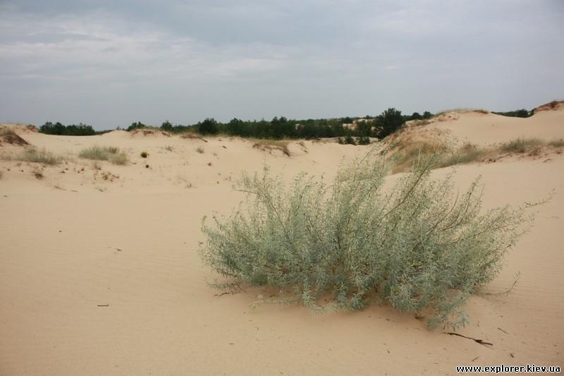 Еще одни кусты в песках