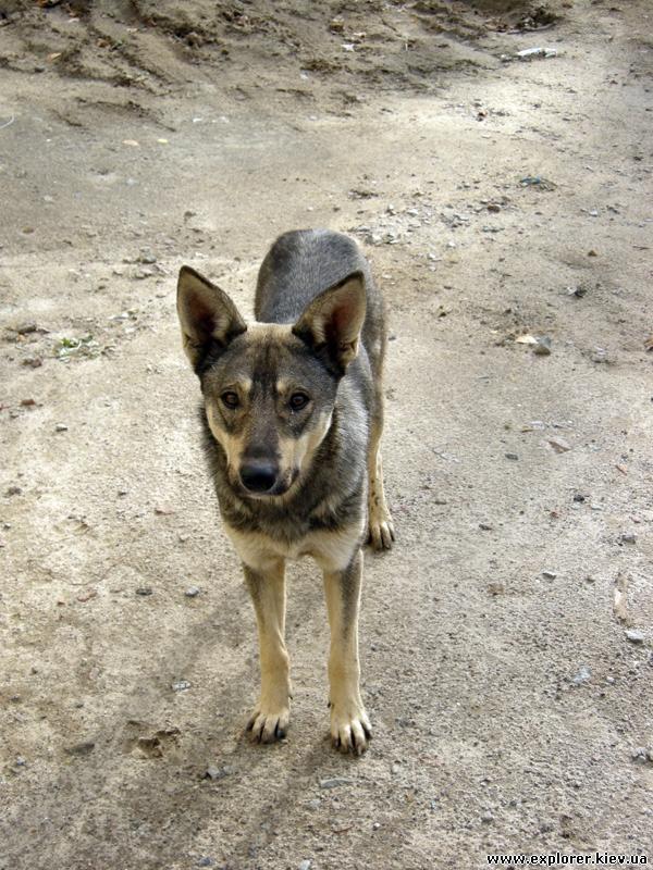 Собака-охранник